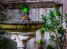 Robin washing.