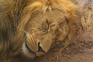 In the Savannah the lions sleep today