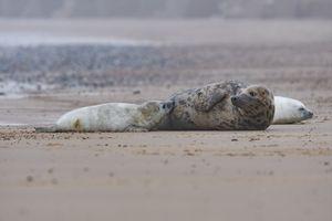 Female Grey seal feeding her pup