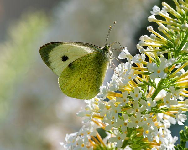 Buddleja and butterfly