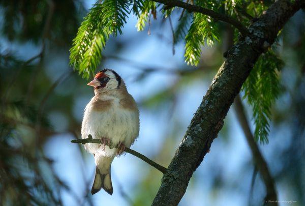 Sunny morning Goldfinch.