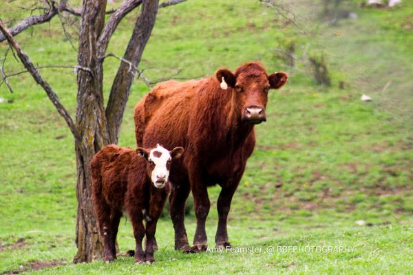 Cow and calf pair