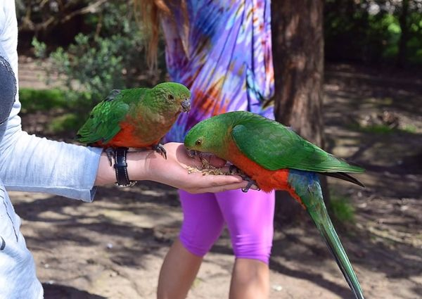2 colourful parrots are being fed with grains by hand in australia