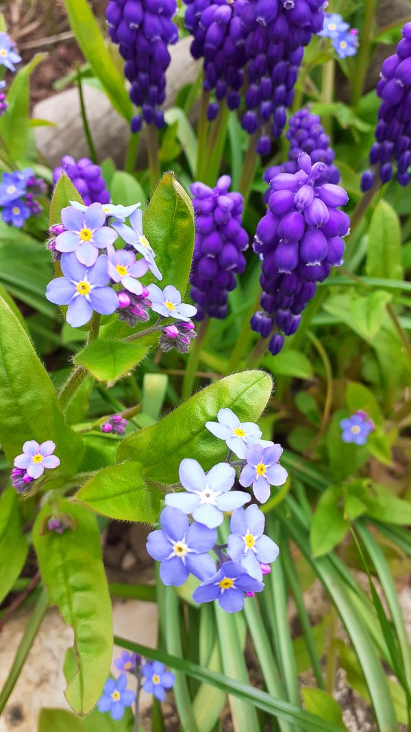 A picture with beautiful bluecissus flower and grape hyacinth blossoms and lush green stems