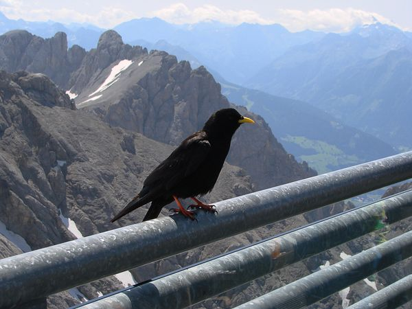 Black alpine jackdaw on a railing of a viewing platform in the mountains of the austrian alps