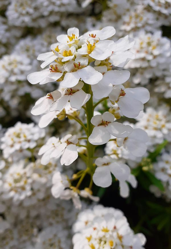 Beautiful white ribbon blossoms with yellow calyx yellow seed stalks and a green plant stem