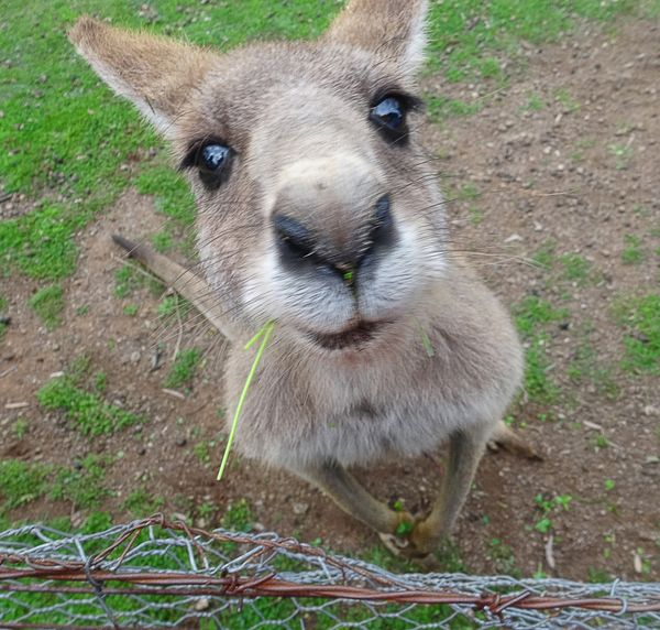Cute kangaroo with big eyes looking into the camera in a kangaroo enclosure and sanctuary for injured animals in australia