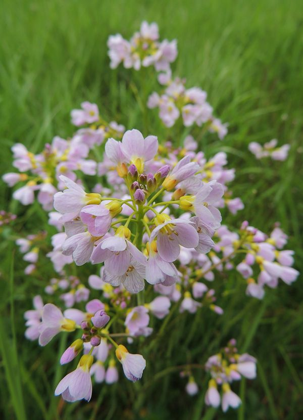 Delicate pink flower with pink white blossoms and yellow calyx on a green meadow in lunen