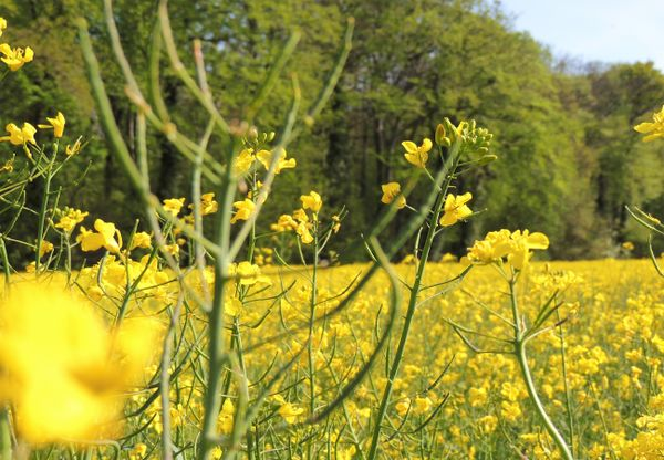 Large yellow rapeseed field with rapeseed flower in the foreground