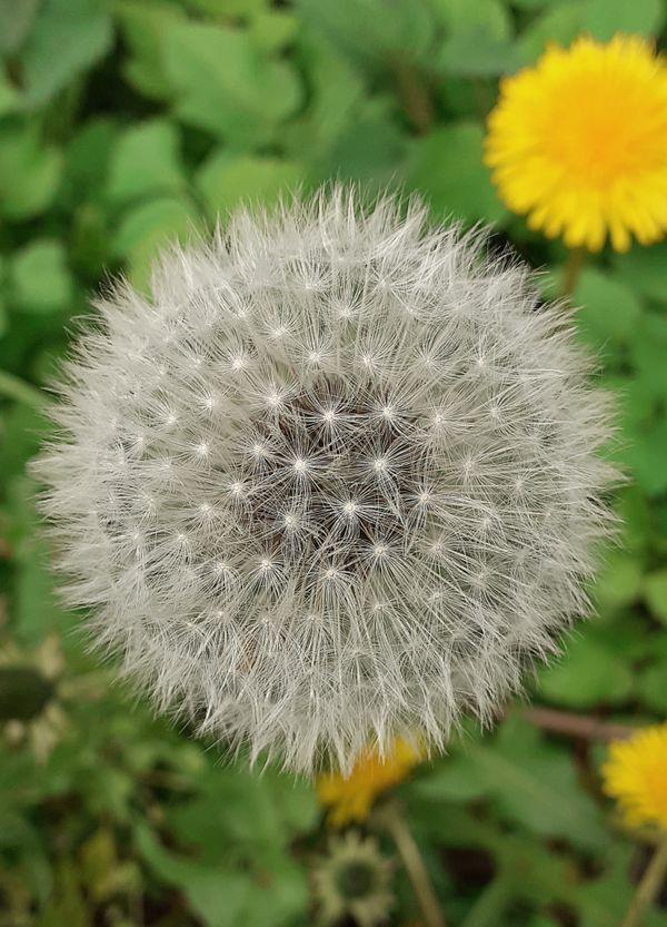 Super beautiful full and round dandelion blowball