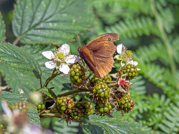Meadow Brown on a Blackberry Flower