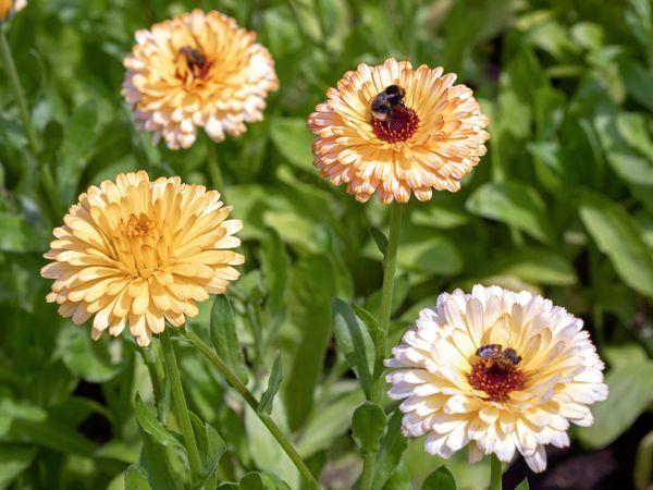 Calendula Marigolds
