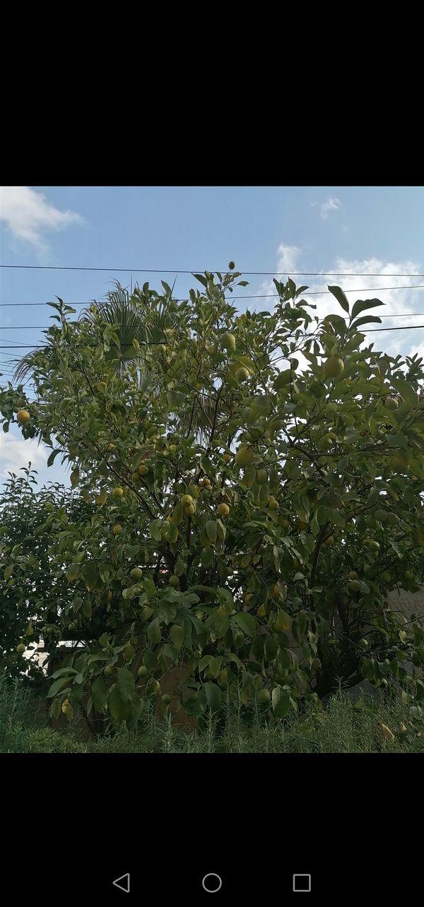 My fav tree..Lemon ,,????
