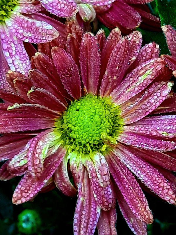 Chrysanthemum after rain