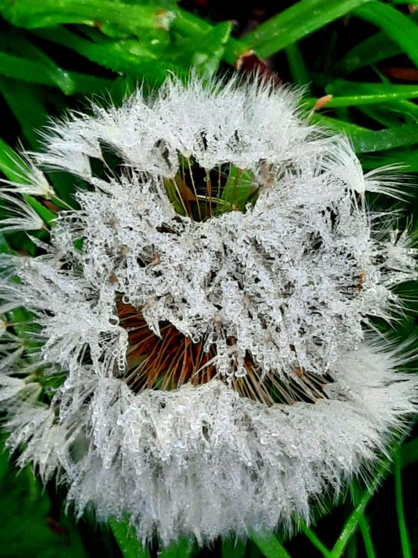 Dandelion after rain