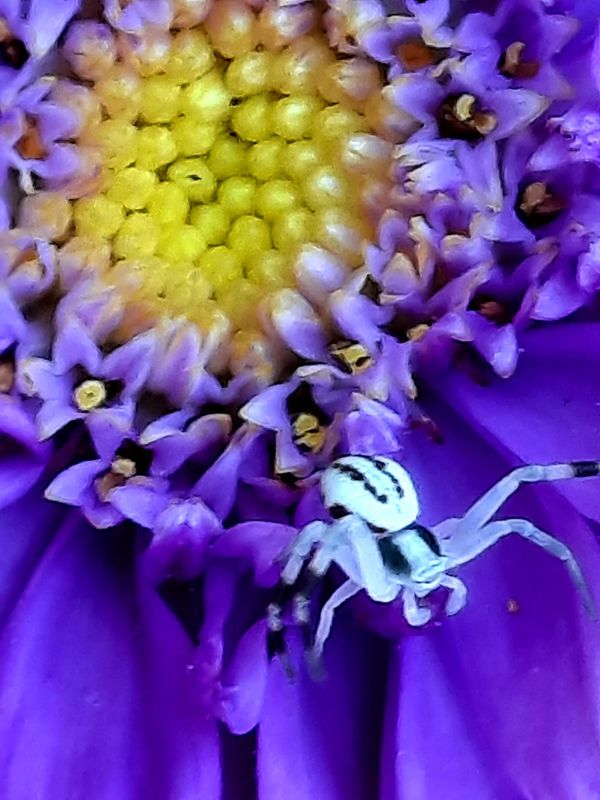 Spider on an aster