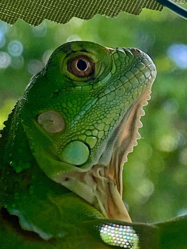 Iguana or little dinosaur?