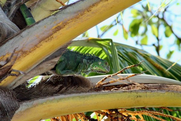 Iguana chilling in a palm tree