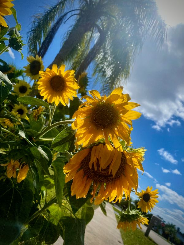 Oh so sunny sunflower