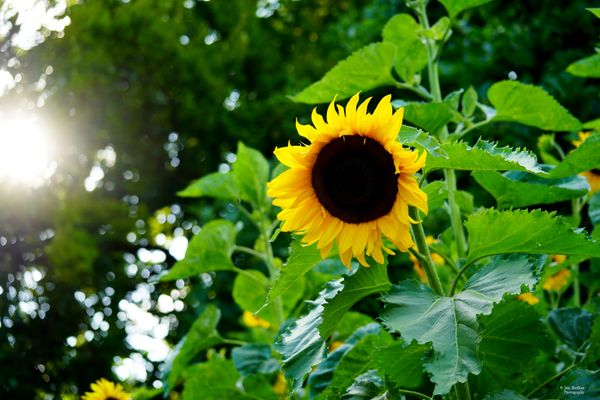 Sunflower in the rays of the sun