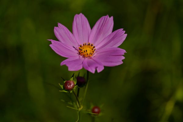 Cosmos bipinnatus