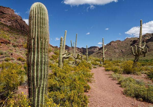 Saguaros Lead the Way