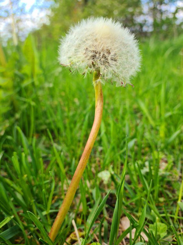 Flower, Lonely dandelion.