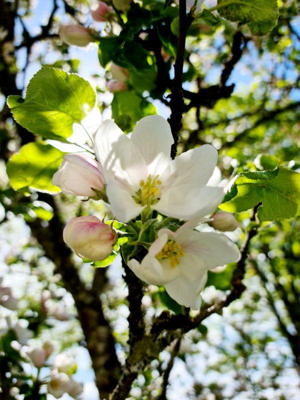 Apple flowers.