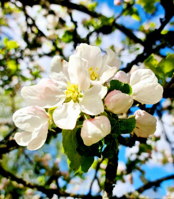 Apple flowers on the tree.