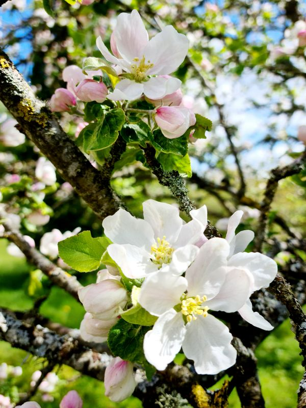 Pink and white apple flowers.
