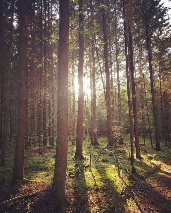 Sunlight shining between the trees.