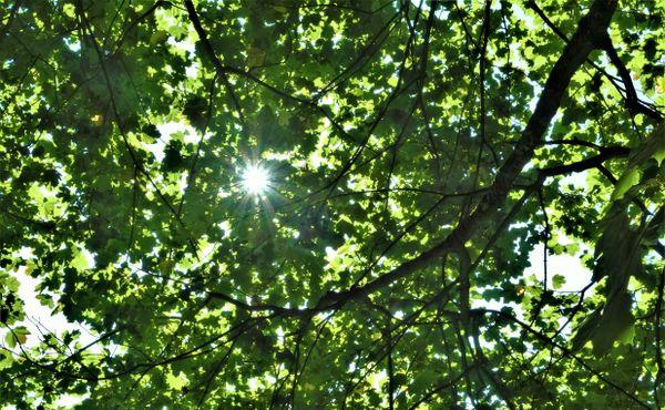 Sunlit Leaves.