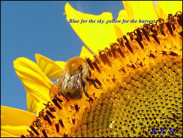 Sunflowerbe21