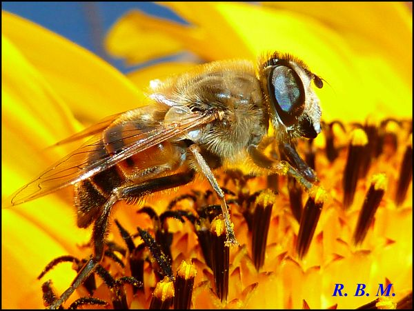 Sunflowerbee20