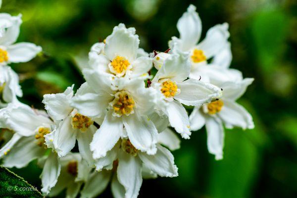 Little white blossom