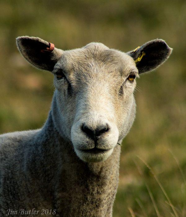 Dartmoor Ewe