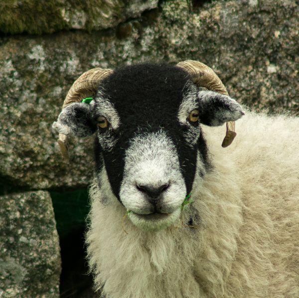 Dartmoor Ram