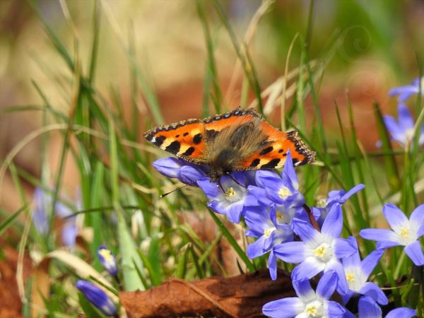 Aglais Urticae on the Glory of the Snow