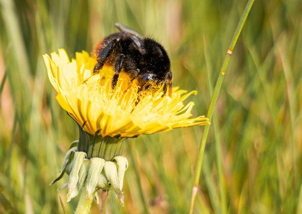 Bumblebee in a flower