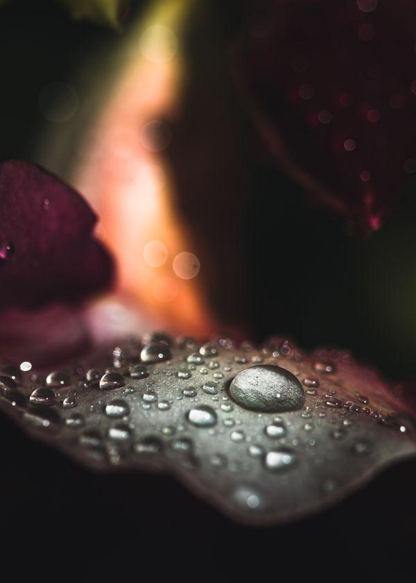 Raindrops on a Plumeria