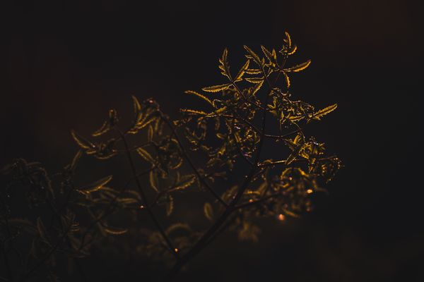Some leafs in the sunset