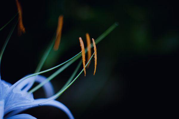 Hymenocallis Stamen in closeup