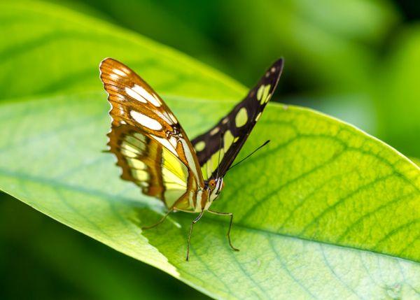 Malachite Butterfliy