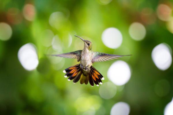 Antillean Mango Hummingbird