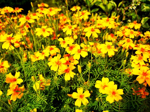 Yelow flower2