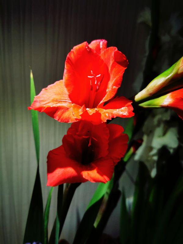 Red Gladiolus2