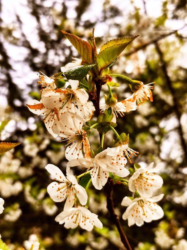 Cherry tree flowers in spring