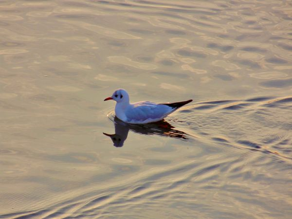 Seagull swims in the water