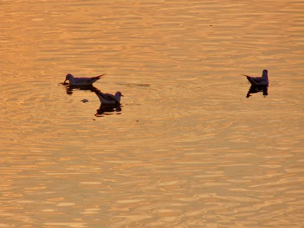 Seagulls swim in the water at sunset