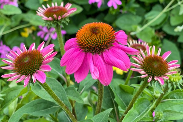 Coneflower and Buds